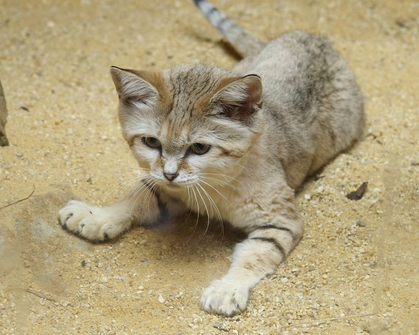 https://res.cloudinary.com/kohepets/image/upload/v1527325248/Sand-Cat_wnykea.jpg