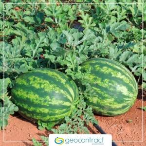 Cola PVA: como evitar que as cascas de melancia amarelem e queimem durante o cultivo?