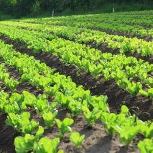 Hortaliças ficam comprometidas com a chuva forte em Curitiba e a drenagem de solo pode ajudar nesta situação de emergência