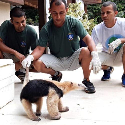 Guarda resgata tamanduá-mirim dentro de condomínio no Rio