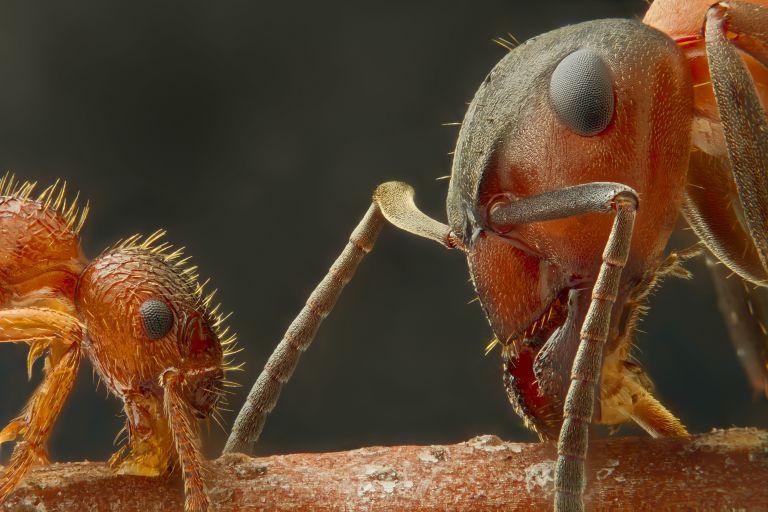 Встреча двух видов муравьёв на палочке.