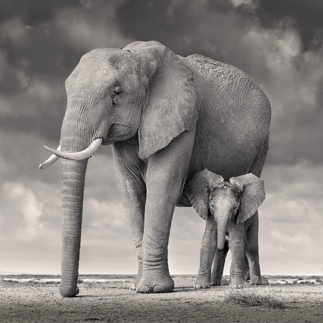 'Elephant Mother and Calf, Amboseli' - David Burdeny