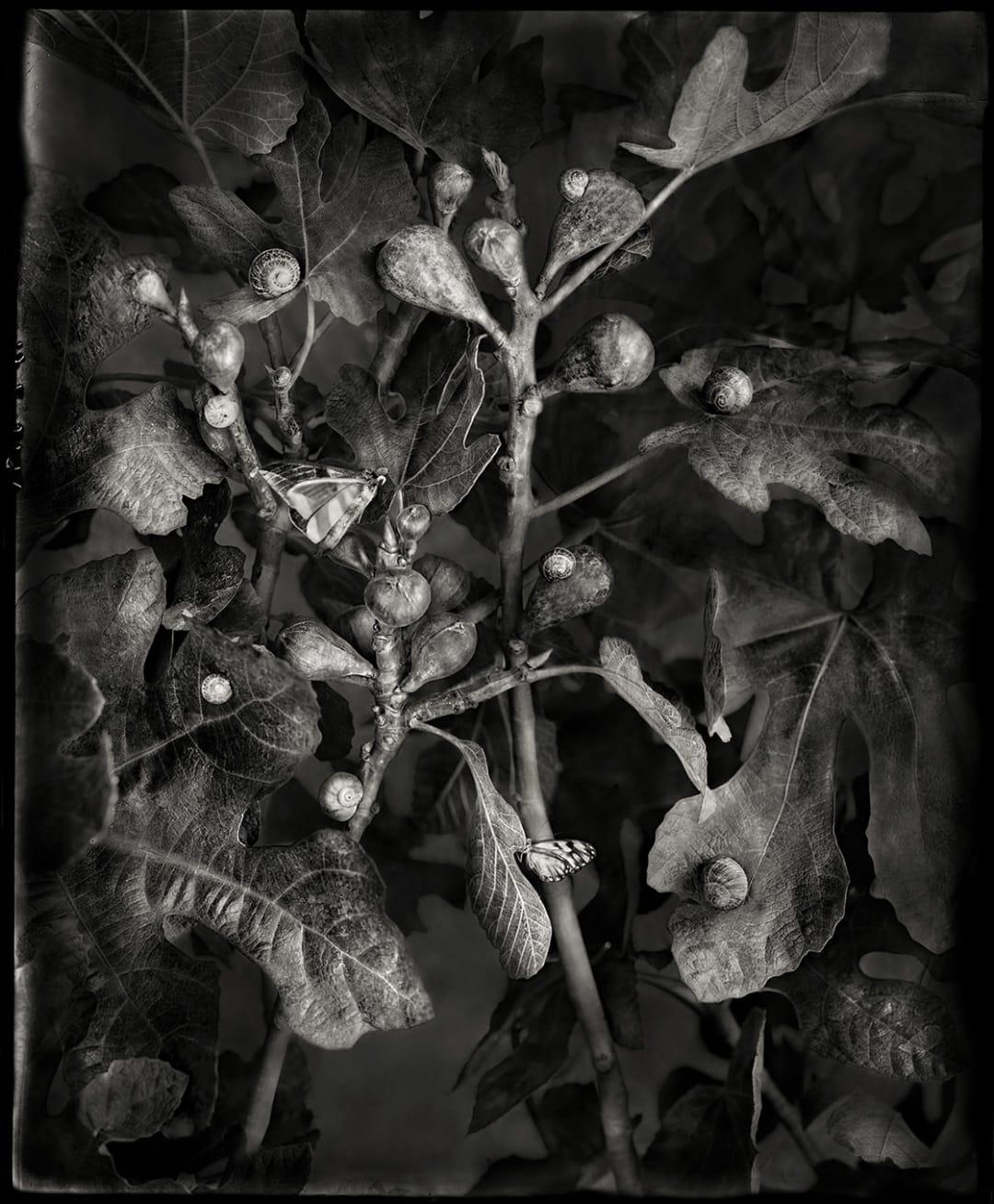 Whitney Lewis-Smith- Figs, 2021
