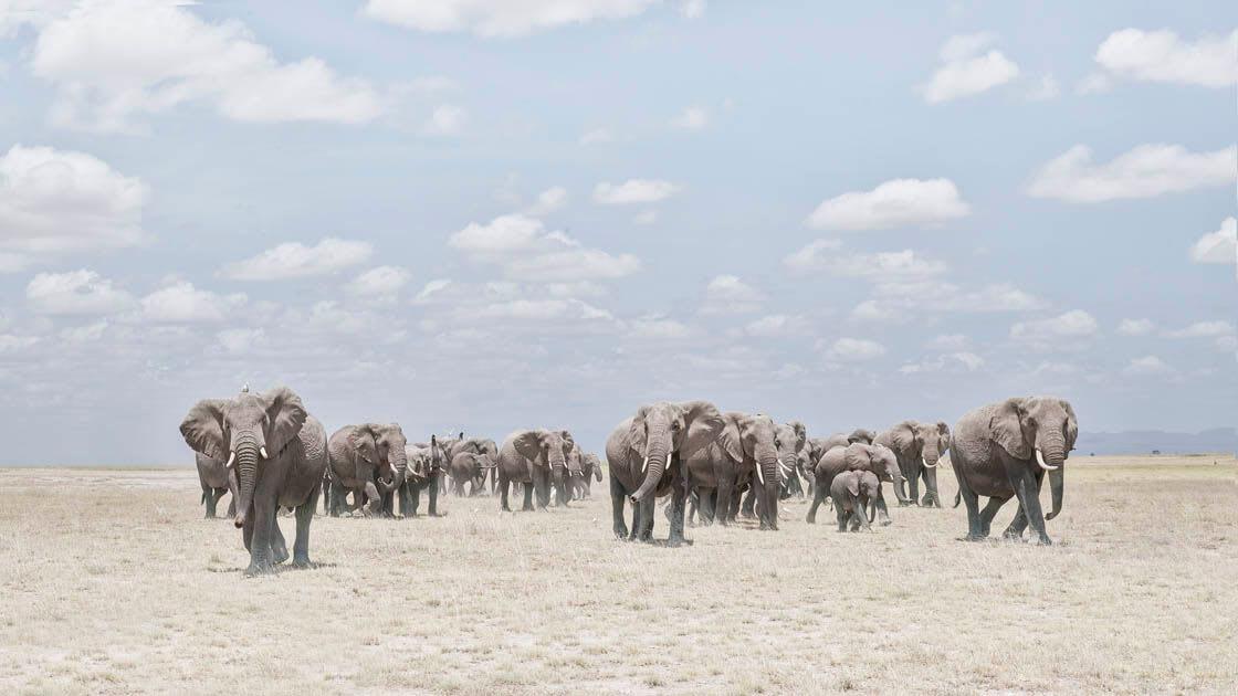Elephants Crossing Dusty Plain, Amboselli, Kenya - David Burdeny