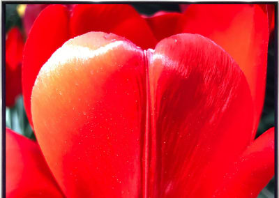 James Lahey- Tulip As My Heart In The Universe (Red), 2019