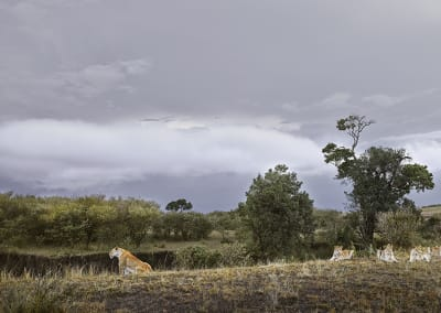 Lioness and Four Cubs (Rivers Edge) Maasai Mara, Kenya, 2019