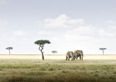 David Burdeny- Elephant Pair, Amboseli, Kenya