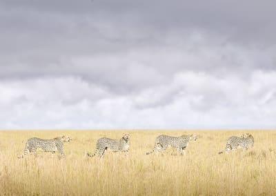 Cheeta Coalition, Maasai Mara, Kenya