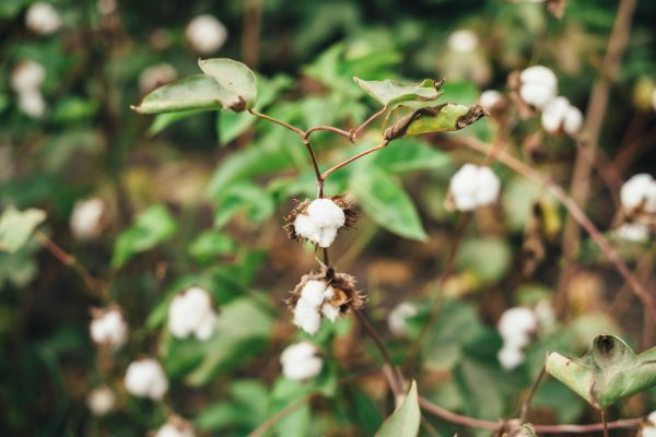 Our Cotton