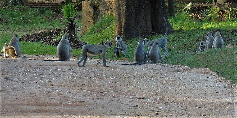 polonnaruwa monkeys