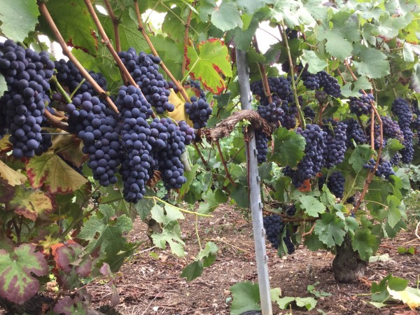 Pinot Noir (c)Champagne Didier Mirault