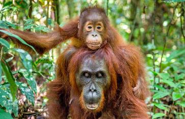 Orang Utan Borneo, Indonesien