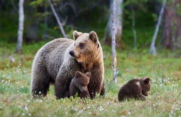 Mutterbrauner Bär