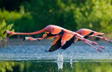 Karibische Flamingos, die mit Reflexion über Wasser fliegen. Kuba. Eine ausgezeichnete Illustration.