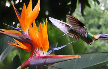 Hummingbird, Trinidad / Tobago, Karibik