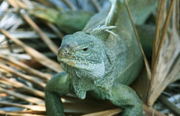 Iguana, Turks / Caicos, Karibik