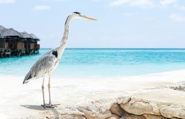 Storch, Malediven
