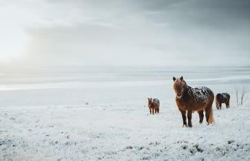 Pferde, Island