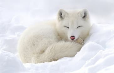 Polarfuchs, Lappland