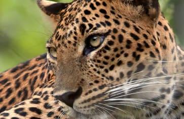 Leopard, Guyana