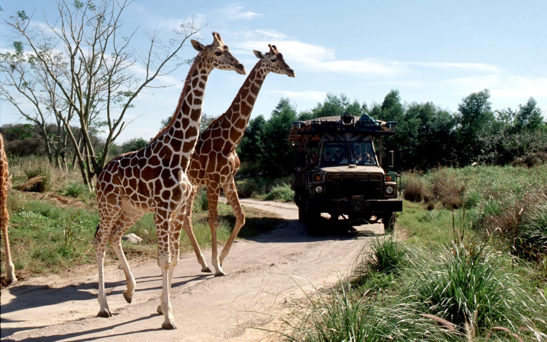 Disney's Animal Kingdom Lodge in Lake Buena Vista:  0_Park Allgemein_Animal Kingdom Giraffen