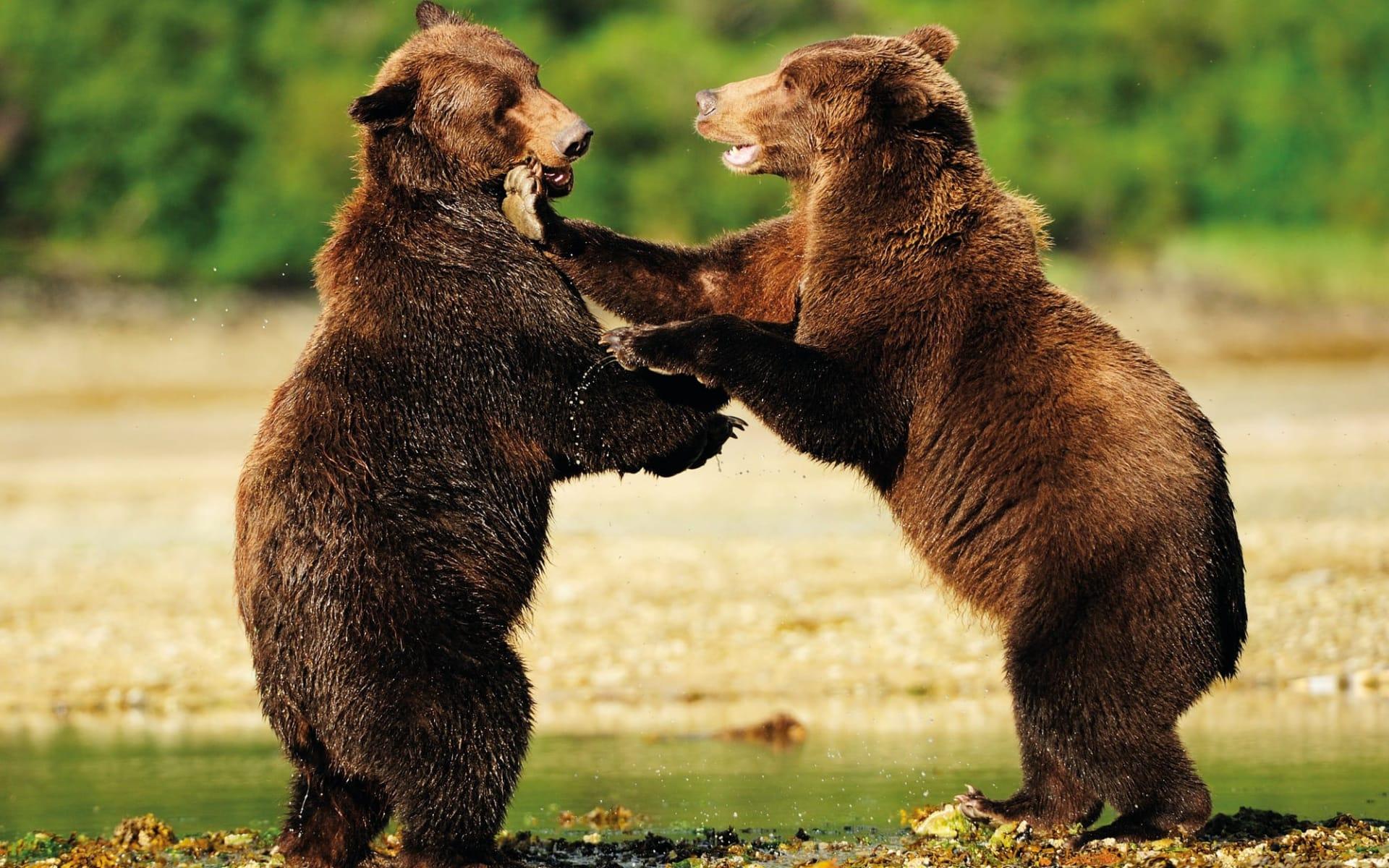 Bärenbeobachtung Redoubt Bay Lodge 2 Tage ab Anchorage: Alaska - Katmai Nationalpark - Bären am Spielen