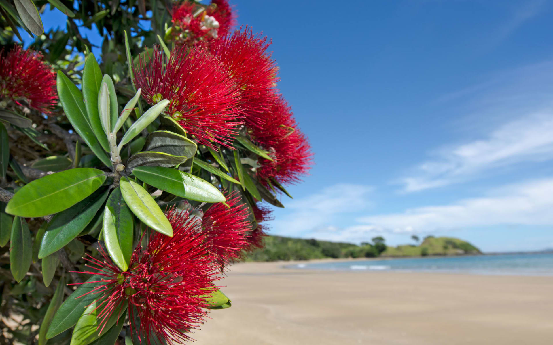 North Island Explorer Southbound ab Auckland: Bay of Islands - Pohutukawa Blume - Shutterstock ChameleonsEye