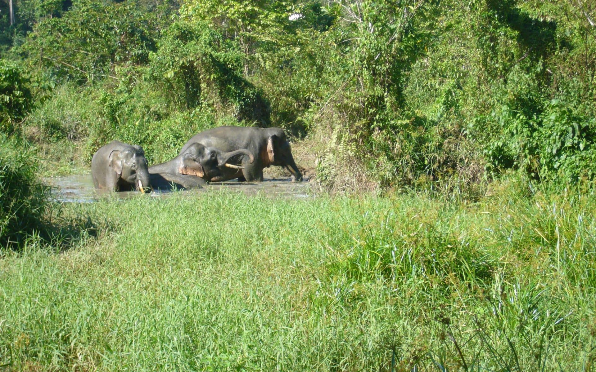 Borneo Wildlife / Tabin Wildlife Reserve ab Kota Kinabalu: Borneo Pygmy Elephant