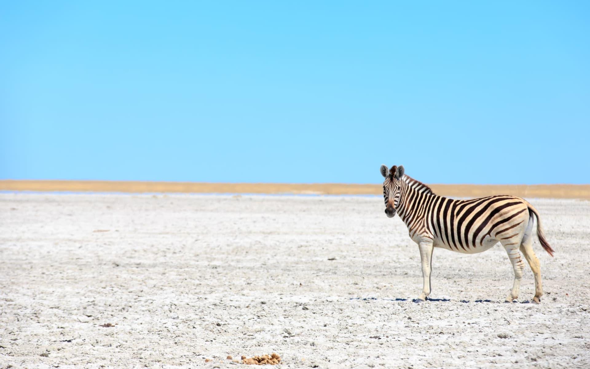 San Camp in Makgadikgadi Pans: Botswana Makgadikgadi Pans, Zebra im Great Salt Pans