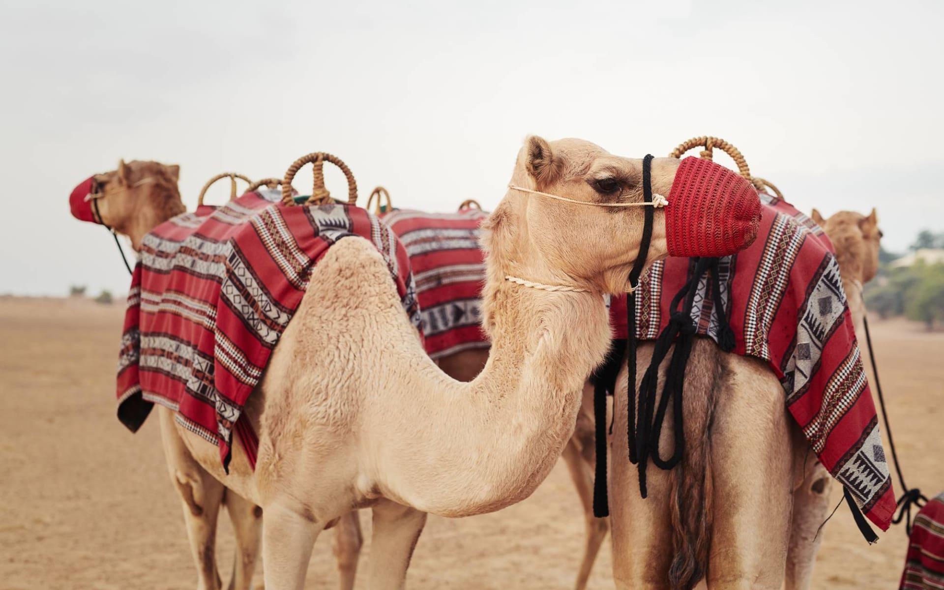Al Maha Desert Resort & Spa: Camels