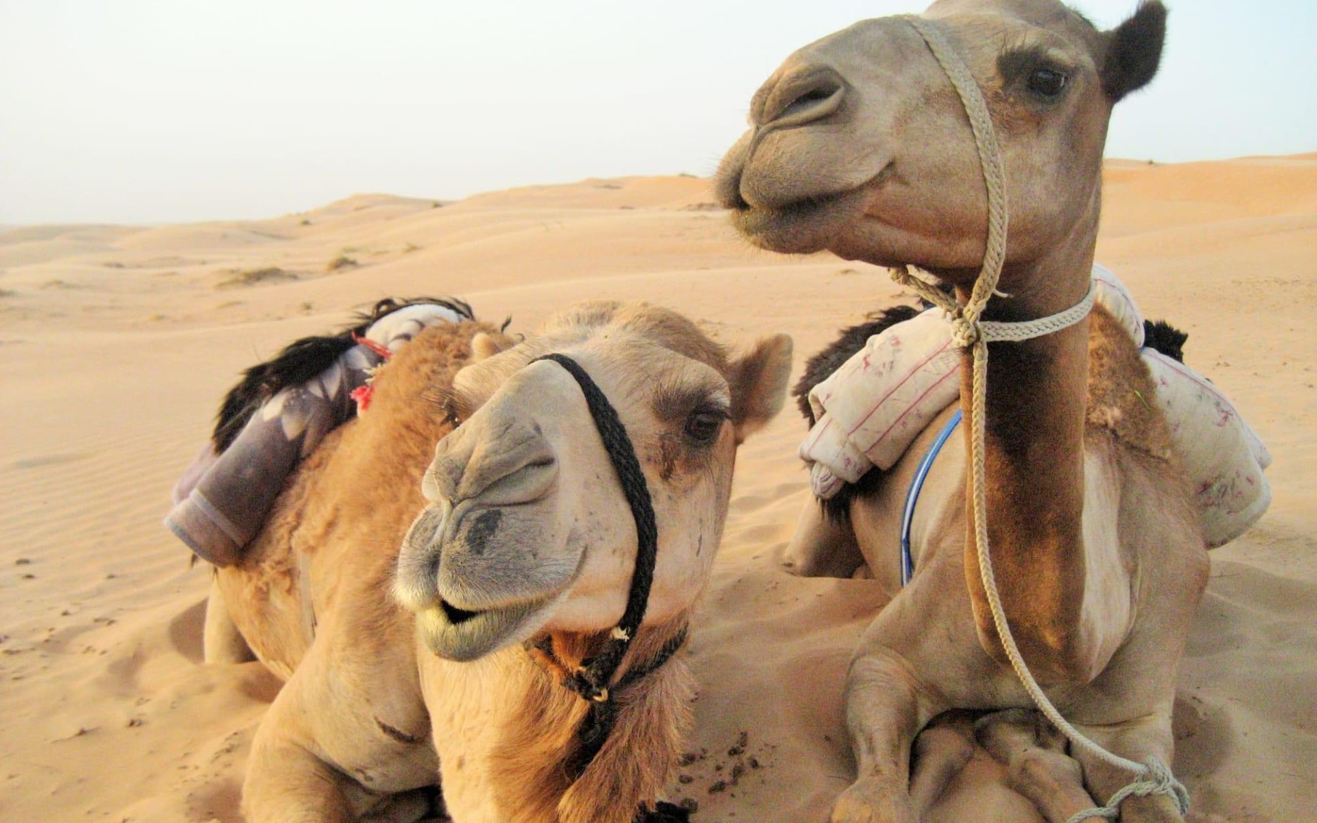 Abenteuer mit dem Wüstenschiff ab Muscat: camels in wahiba sands