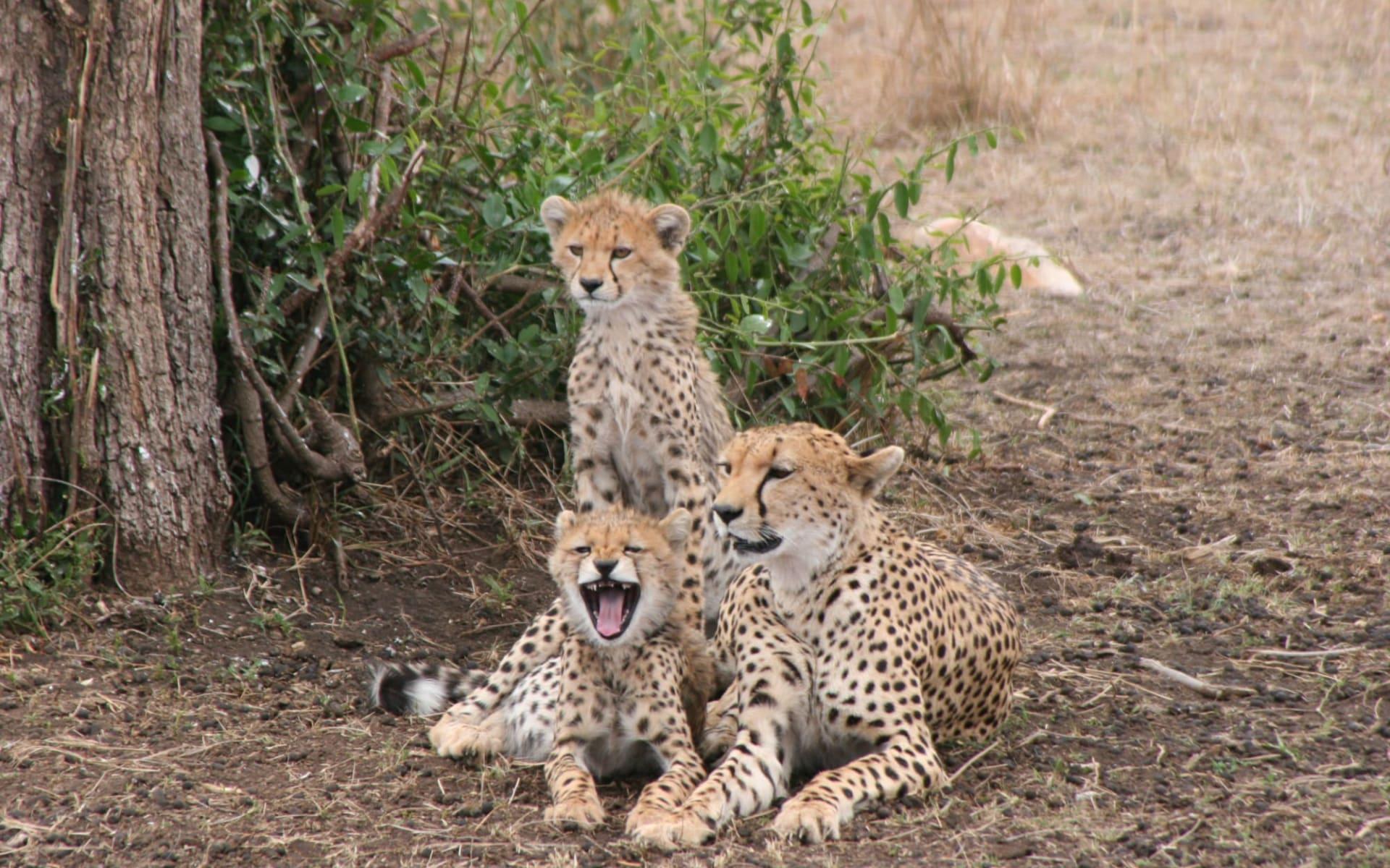 Klassische Tanzania Safari ab Arusha: Cheetah