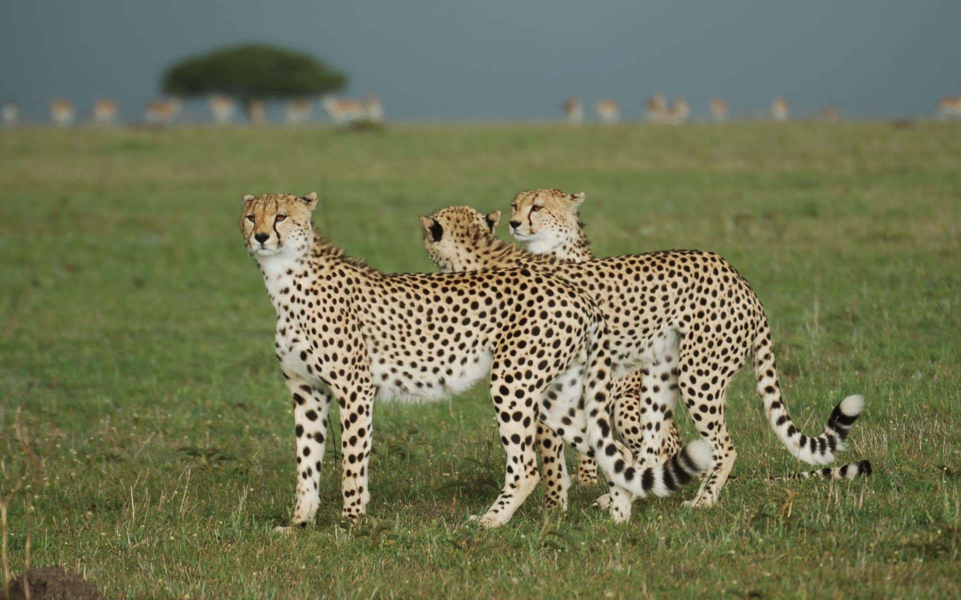 Tanganyika Safari ab Arusha: Cheetahs