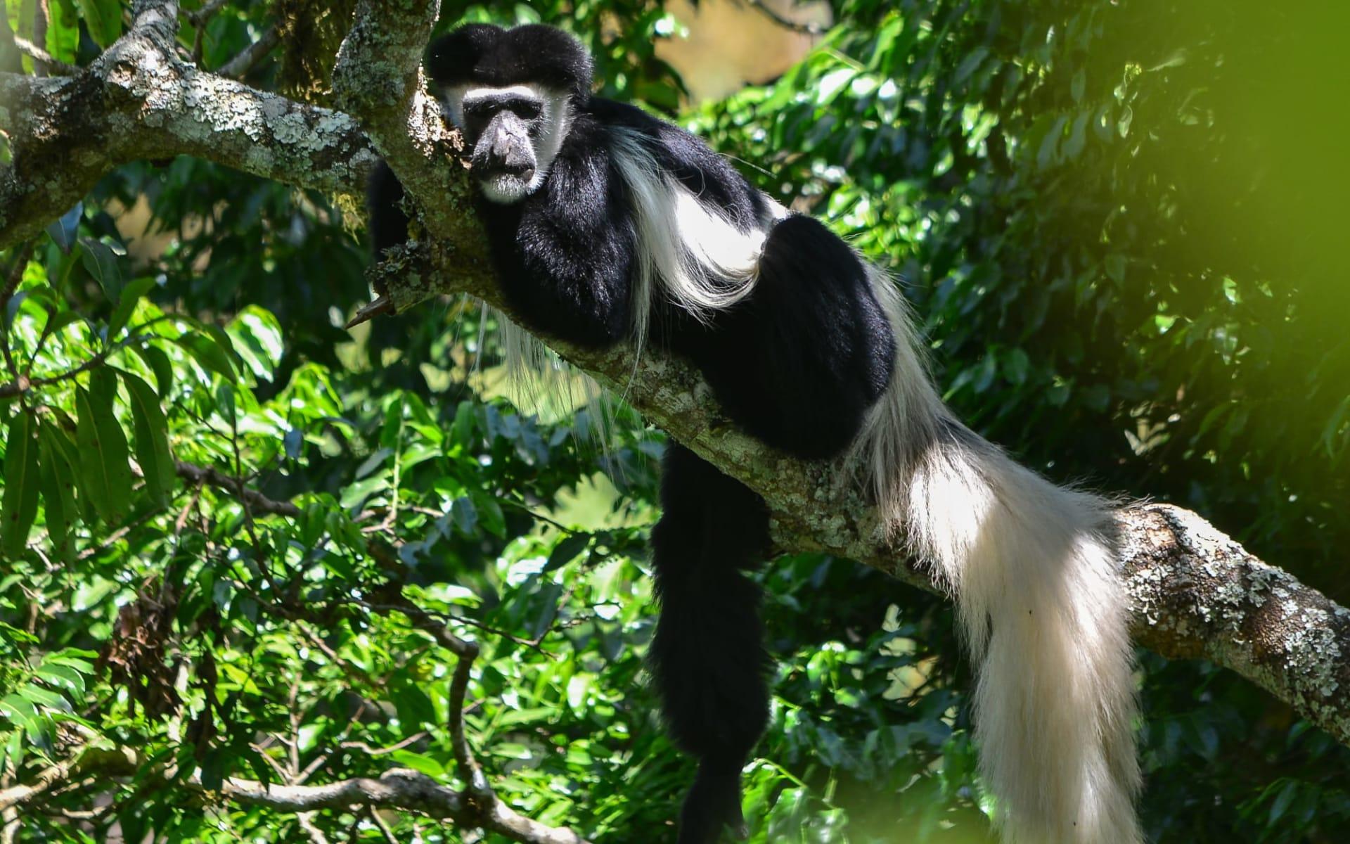 Kids & Cats Safari ab Arusha: Colobus Monkey