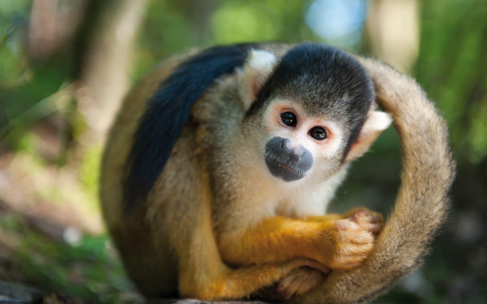 Zubucherreise Pura Vida ab San José City: Costa Rica - Affe