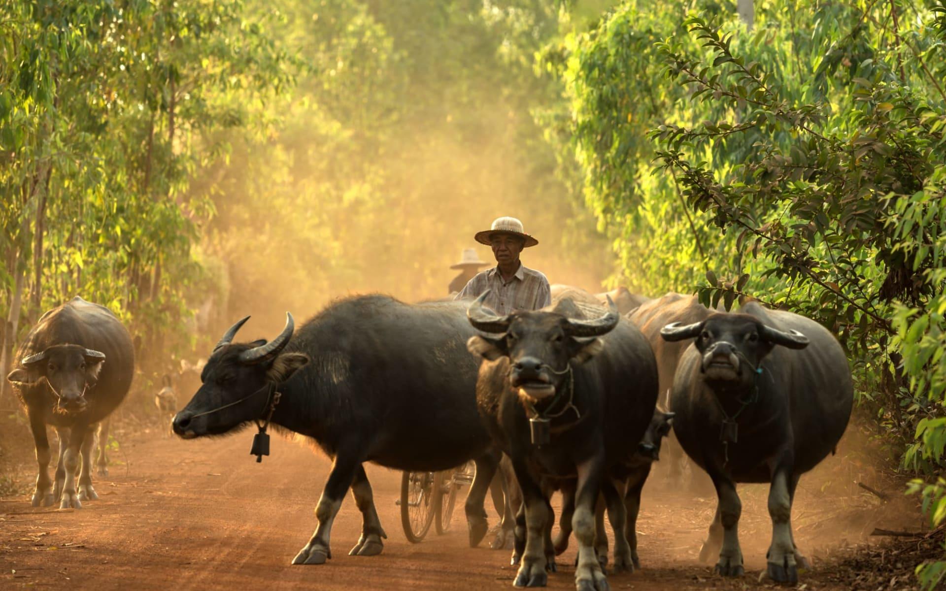 Erlebnis Südthailand ab Bangkok: Farmer with Buffalos