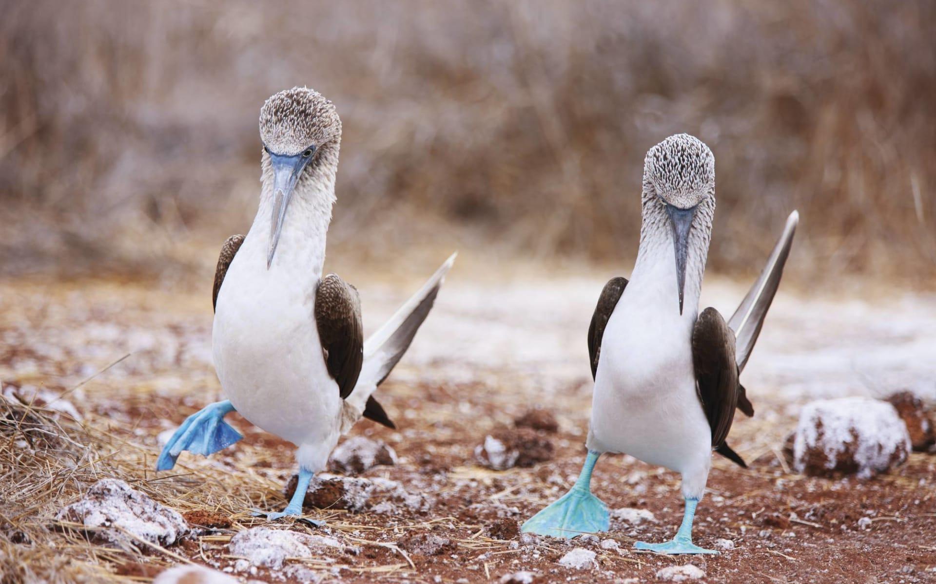 Island Hopping Galapagos ab Puerto Ayora: Blaufusstölpel