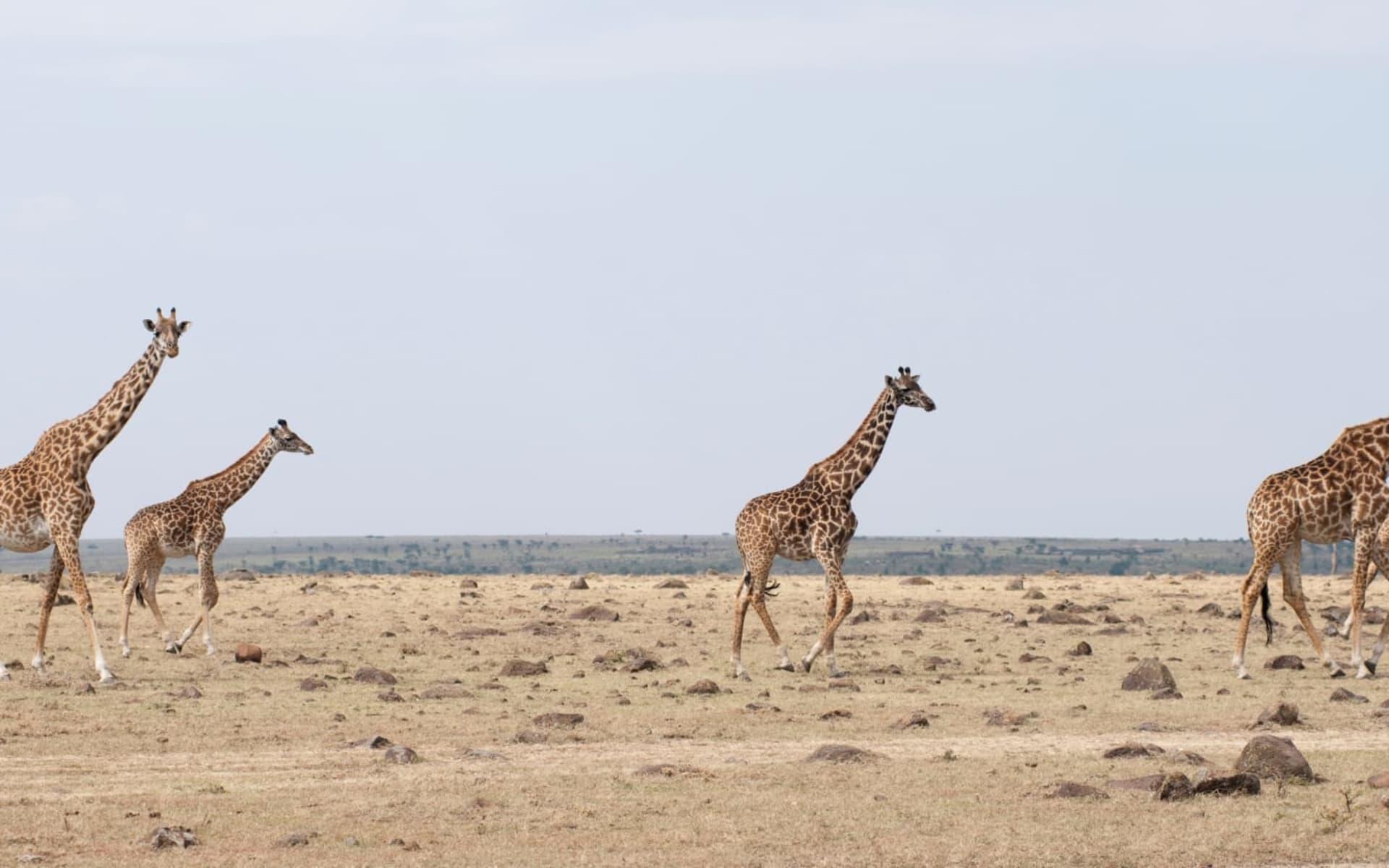 Höhepunkte Tanzania Safari (Flugvariante) ab Arusha: Giraffe Kenya