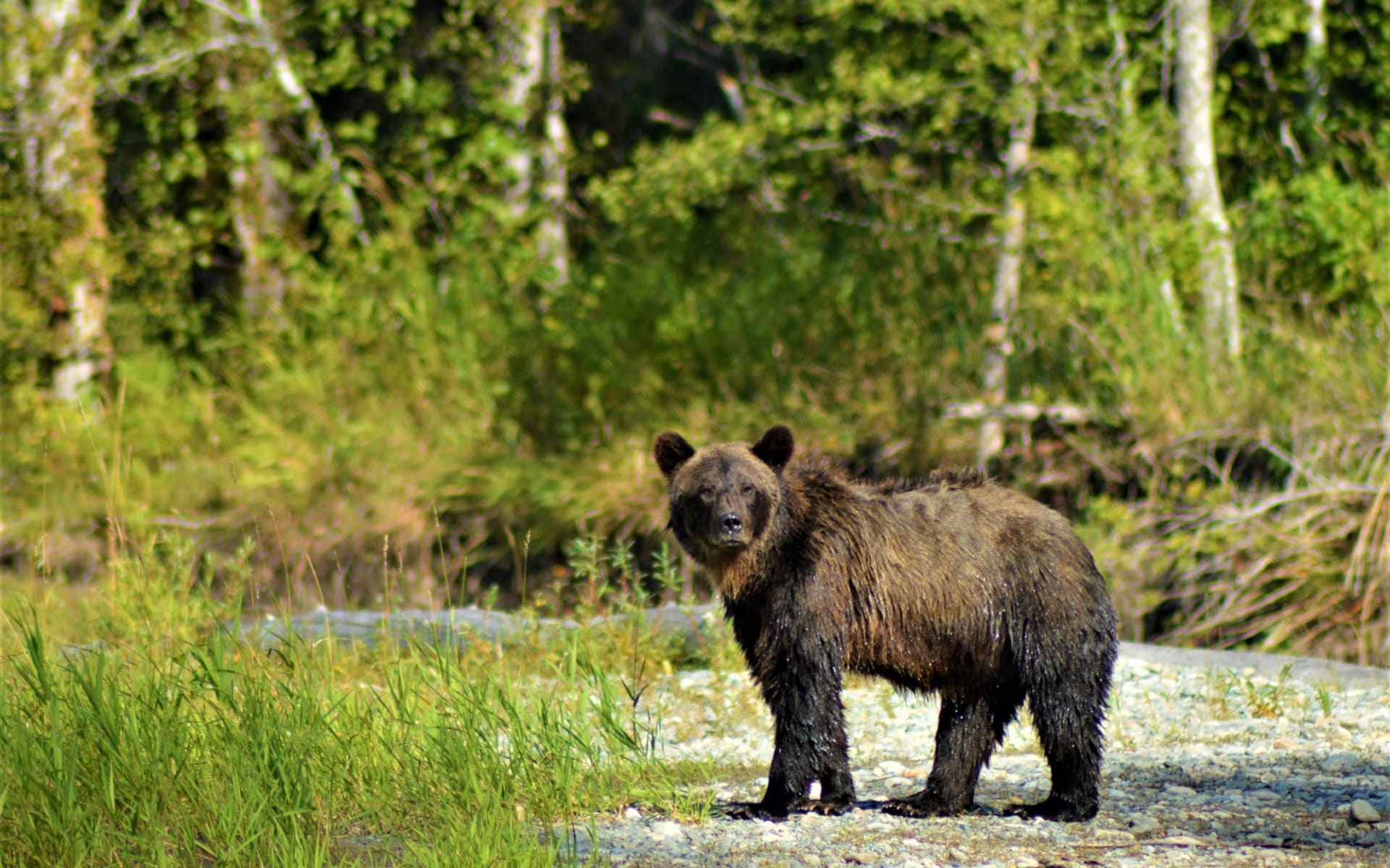 Bella Coola Valley Inn: kanada_grizzly_bear_coola_river