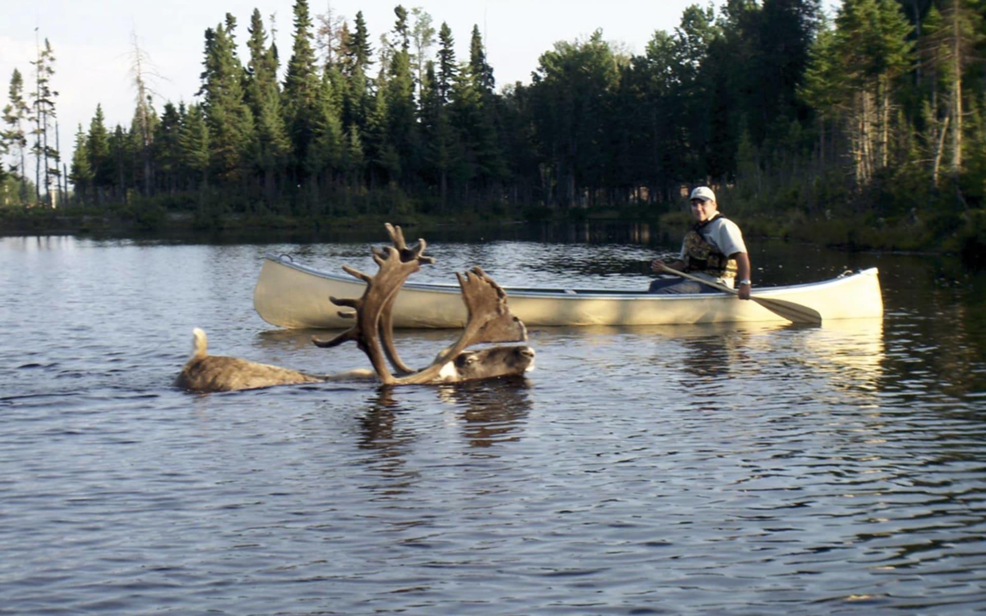 Familienabenteuer mit den Karibus ab Saint Félicien: Kanada - Québec - Karibu im Wasser