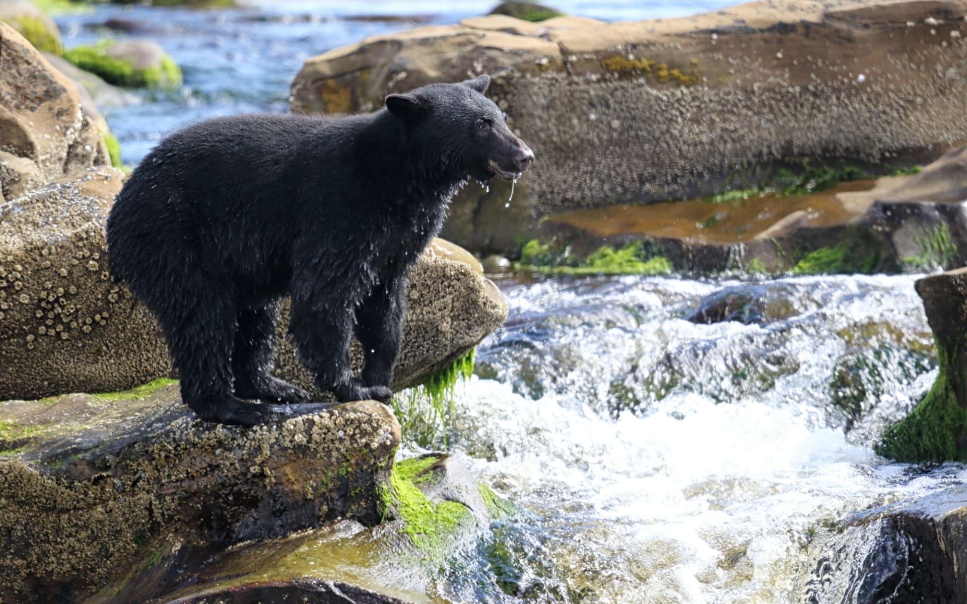 Okwari Tierbeobachtung ab La Baie: Kanada - Vancouver Island - wilder Schwarzbär  am Fisch fangen