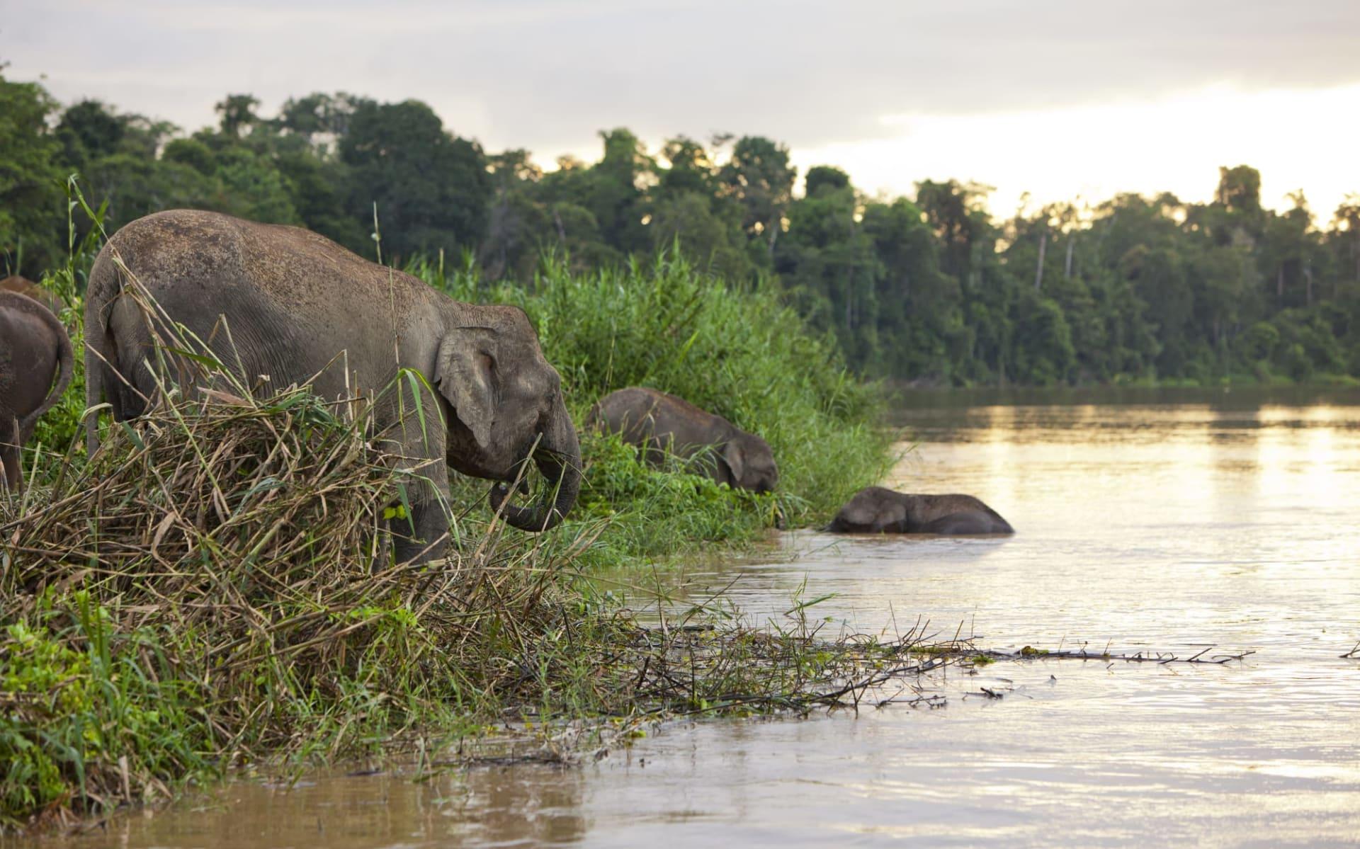 Borneo Wildlife / Borneo Rainforest Lodge ab Kota Kinabalu: Kinabatangang River