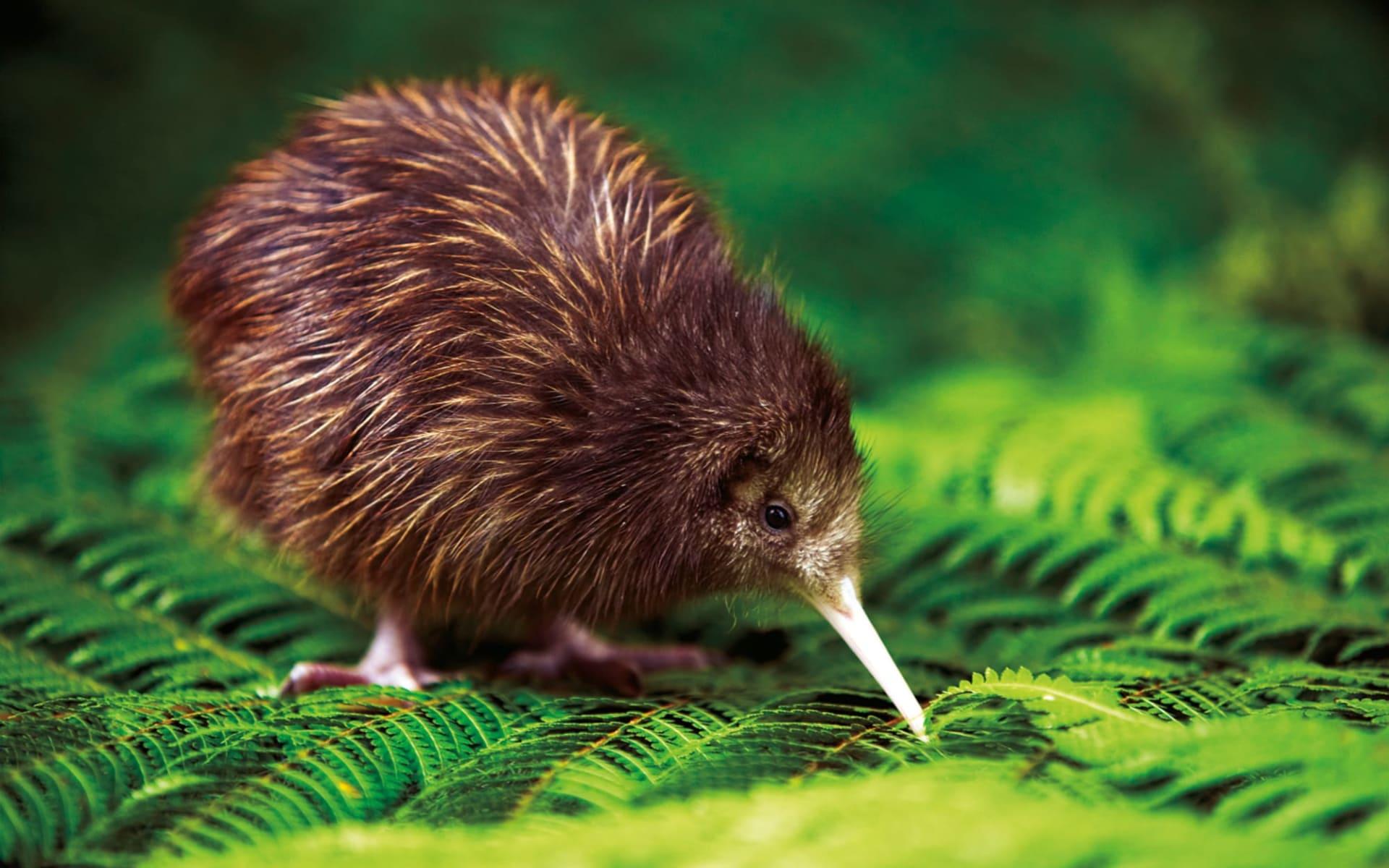 Great Barrier Island ab Auckland: Kiwi - AAT_Kiwi_RotoruaNZ_ChrisMcLennen
