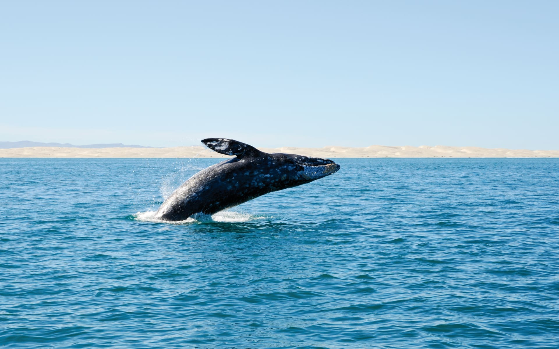 Höhepunkte Baja California ab La Paz: Mexico - Baja California - Grauwal