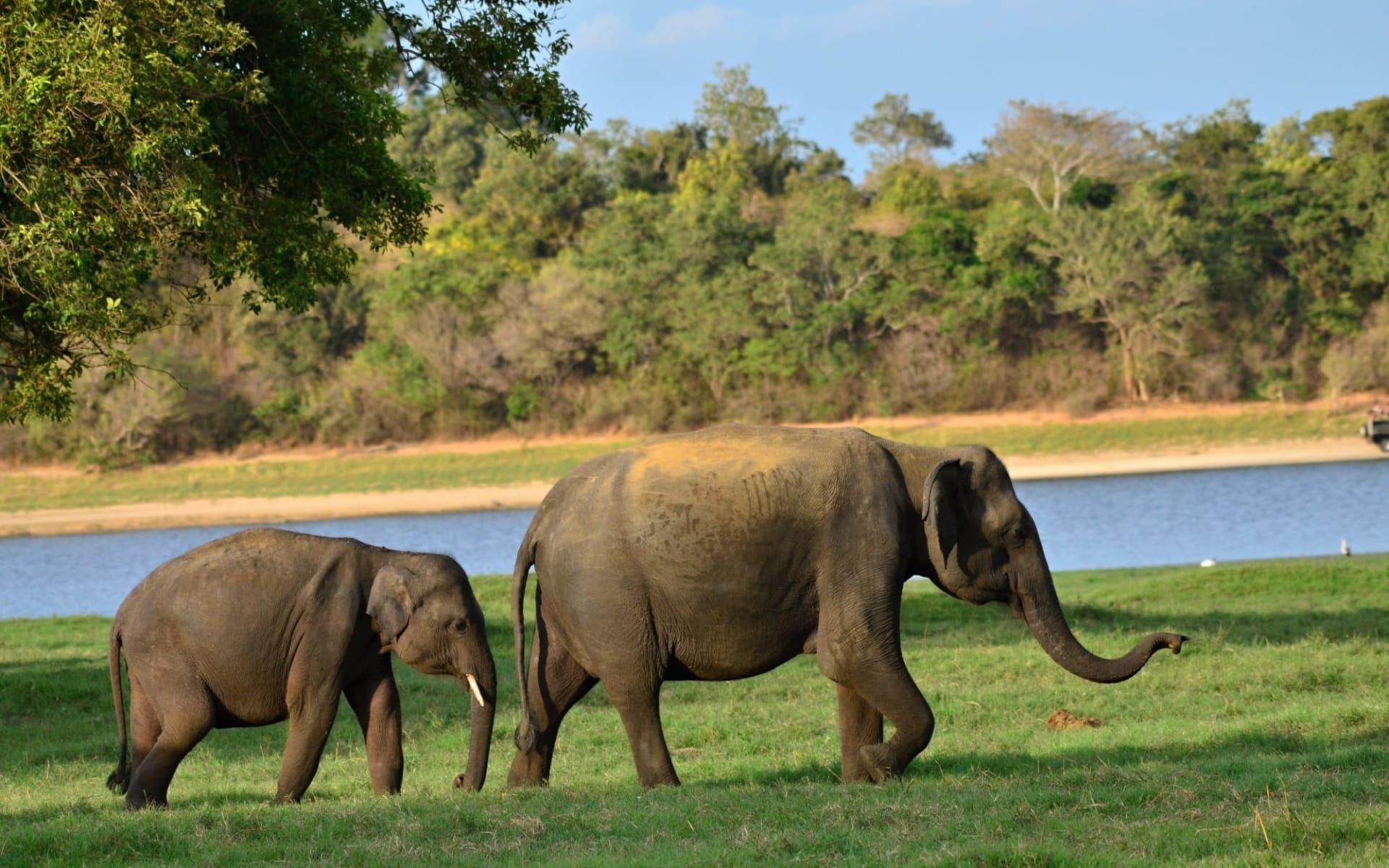 Östliches Sri Lanka im Sommer ab Colombo: Minneriya National Park