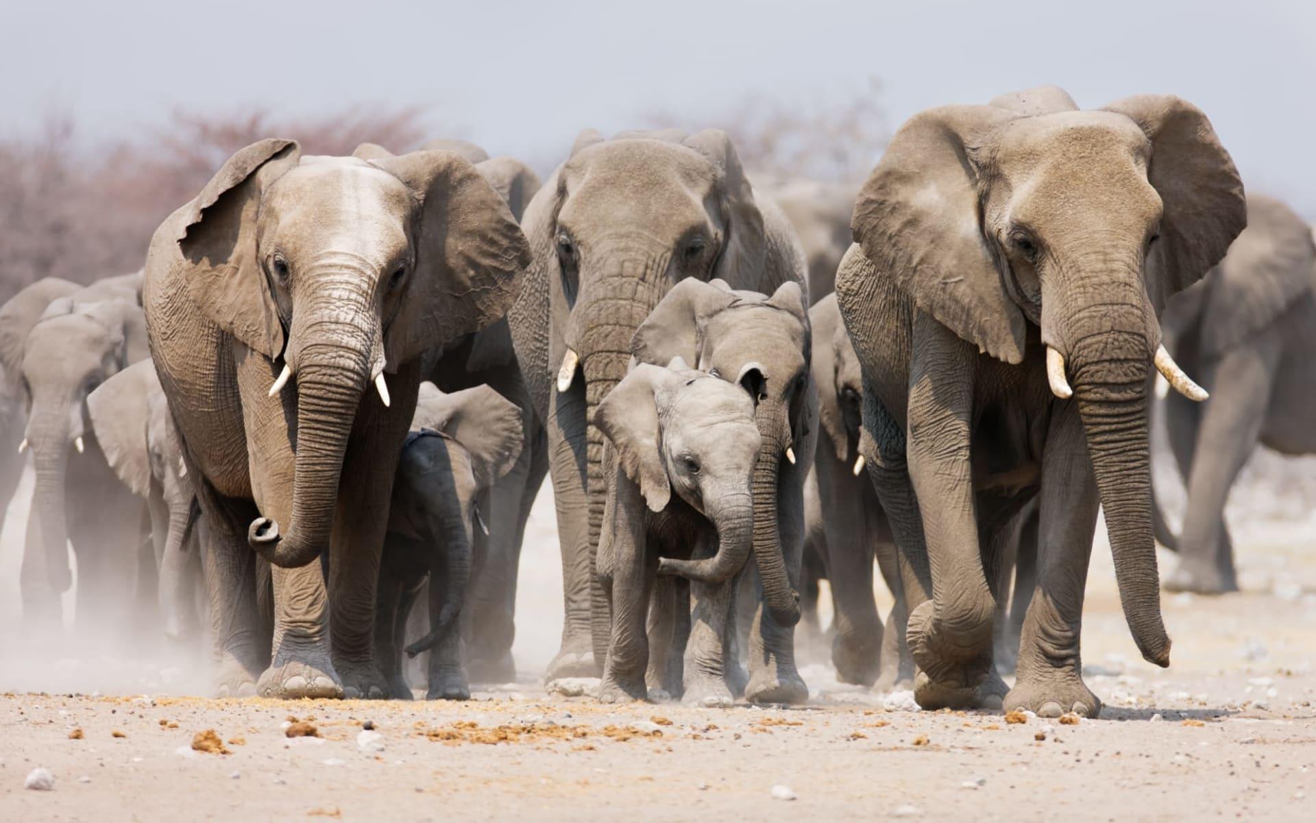 Namibia für Familien 19 Tage ab Windhoek Stadt: Namibia - Etosha Nationalpark - Elefanten Herde