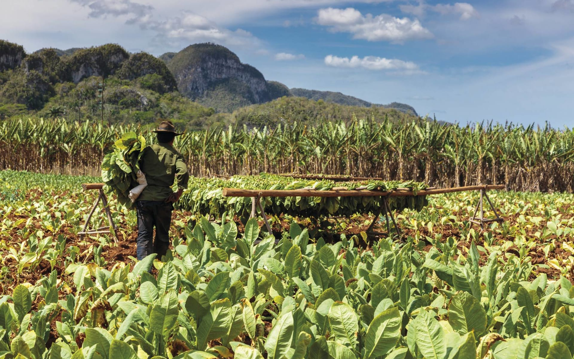Cuba Tradicional ab Havanna: Natur Viñales - Kuba Tabakfeld mit Mann C