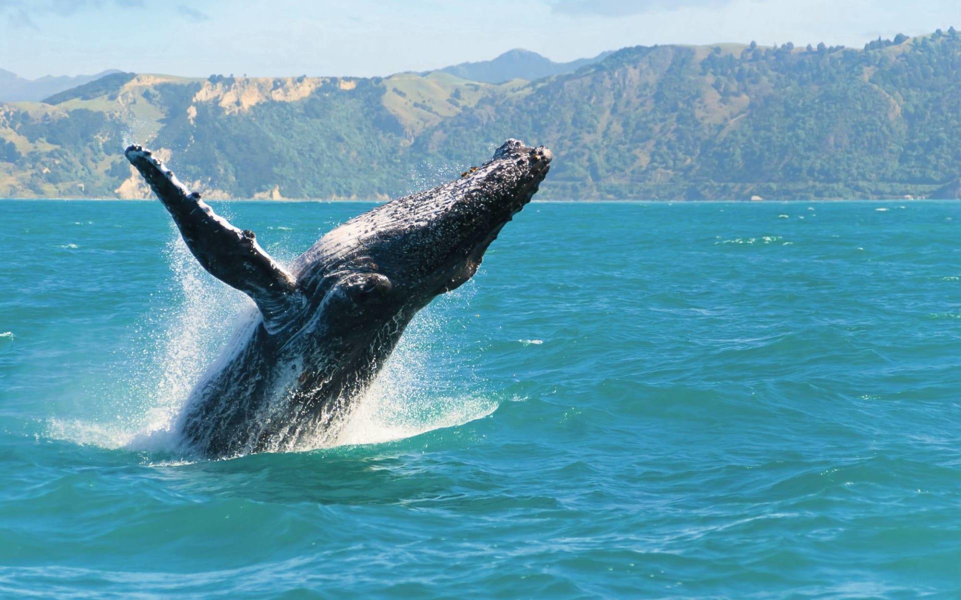 Kiwi Encounter ab Auckland: Neuseeland - Kaikoura Neuseeland - Whale Watch Tour Blick auf springenden Buckelwal  c shutterstock_86572033 2017