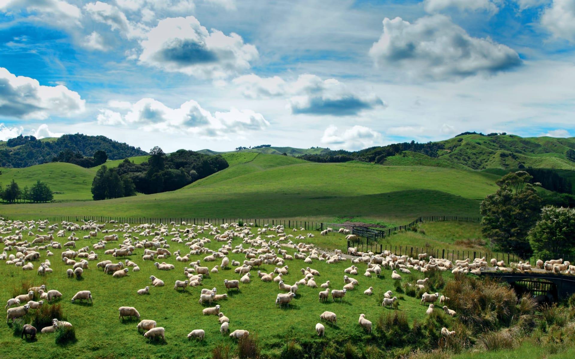 23 Tage Neuseeland bewusst erleben ab Auckland: Neuseeland - Schafe auf einer Wiese
