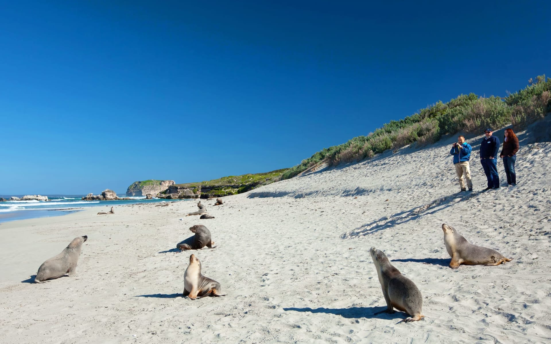Nature Tour ab Adelaide: Seal Bay - Seehunde am Strand
